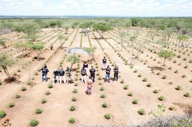 Polícia Civil da Bahia erradica plantação de maconha avaliada em R$ 32 milhões