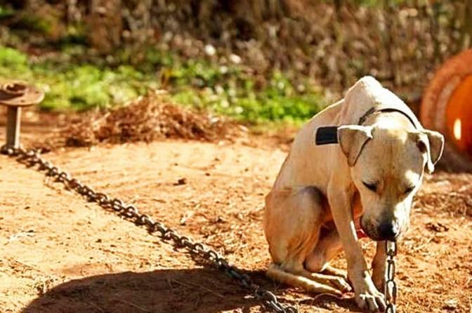 Os Maus Tratos Contra Animais e a Timidez do Legislador Pátrio