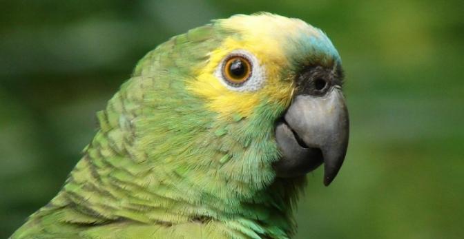 STJ garante que idosa fique com papagaio que ela cria há 17 anos